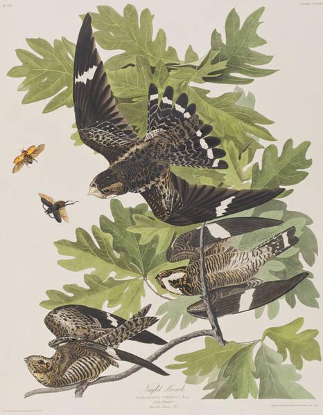 John James Audubon Painting - Night Hawk by John James Audubon
