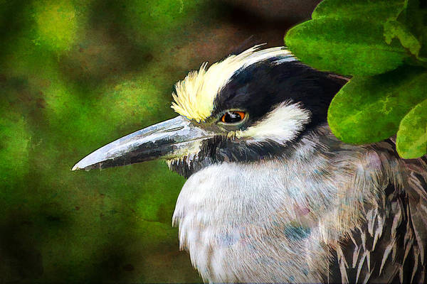 Photograph - Night Heron 3 by Richard Goldman