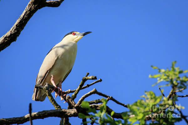Photograph - Night Heron In A Tree by Richard Smith
