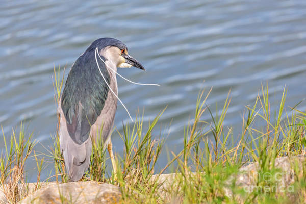 Photograph - Night Heron  by Kate Brown