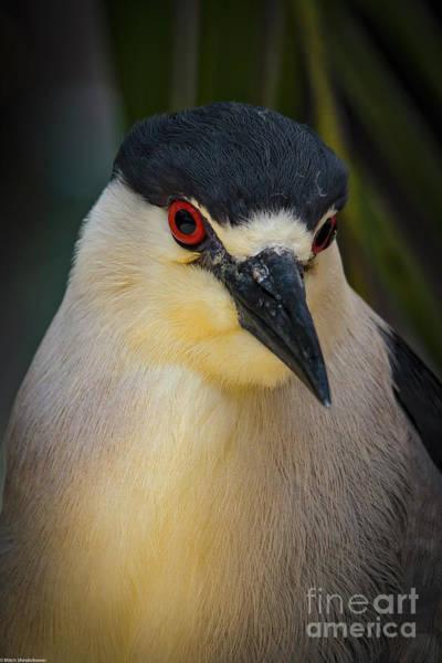 Night-heron Photograph - Night Heron Portrait by Mitch Shindelbower