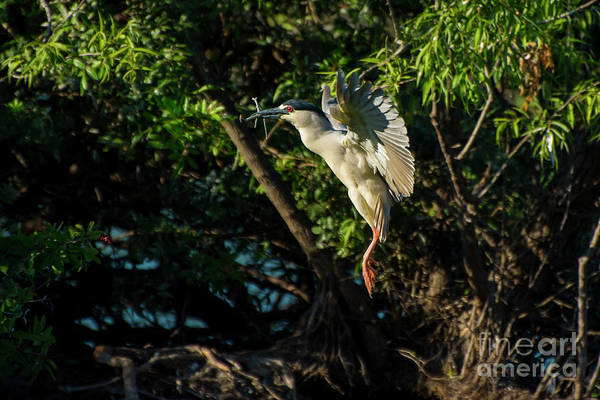 Wall Art - Photograph - Night Heron by Quinn Sedam