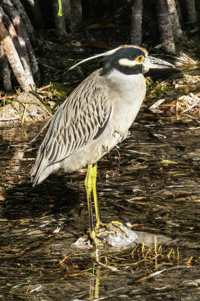 Photograph - Night Heron Standing On A Rock In Key West by Bob Slitzan