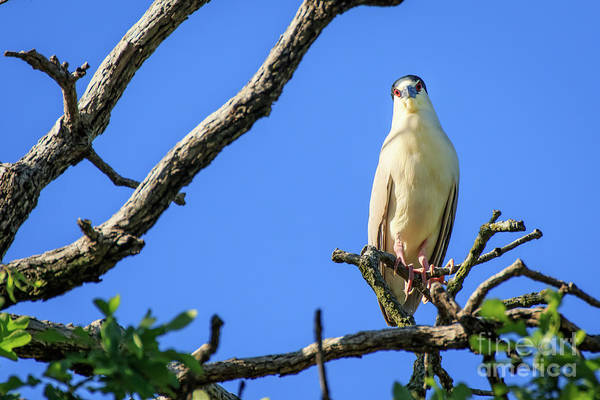 Photograph - Night Heron Stare Down by Richard Smith