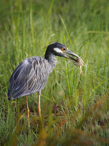 Photograph - Night Heron With Crab by Charles McKelroy