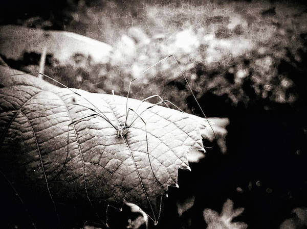 Photograph - Night Of The Harvestman by Susan Maxwell Schmidt