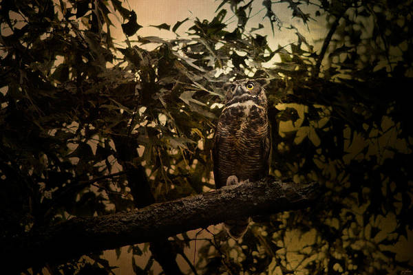 Photograph - Night Of The Owl 3 by Jai Johnson