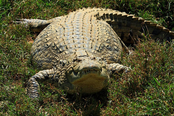 Photograph - Nile Crocodile - Africa by Aidan Moran