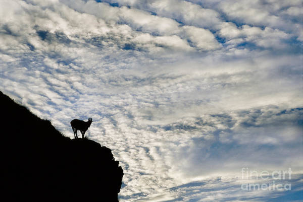 Photograph - Nilgiri Tahr India by Frans Lanting MINT Images