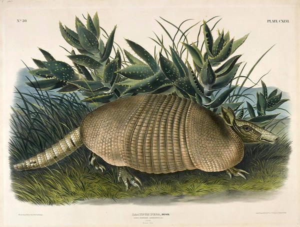 Nine-banded Armadillo Drawing - Nine-banded Armadillo. Dasypus Peba by John Woodhouse Audubon