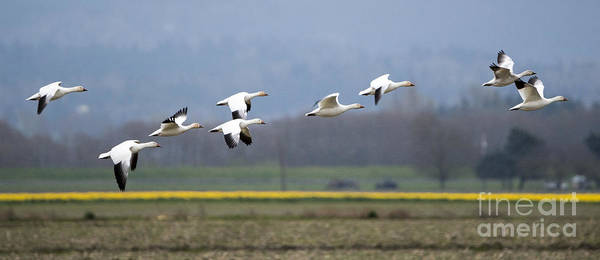 Snow Goose Photograph - Nine Geese A Flying by Mike Dawson