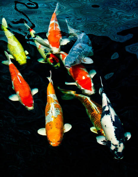 Carp Photograph - Nine Koi by Chua  ChinLeng