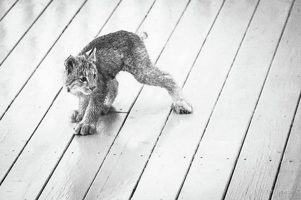 Photograph - Ninja Lynx Kitty Bw by Tim Newton
