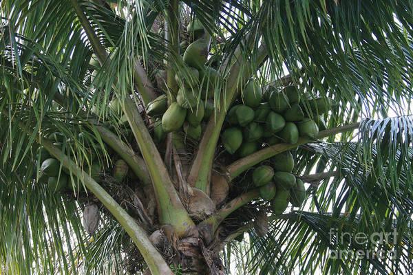 Photograph - Niu Ola Hiki Coconut Palm by Sharon Mau