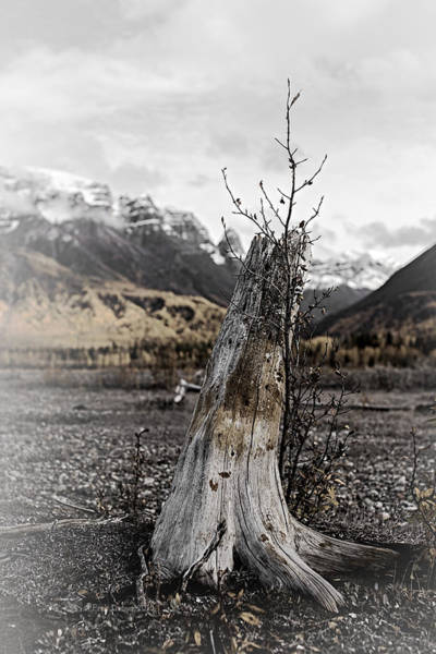 Photograph - Nizina River Tree Stump by Fred Denner
