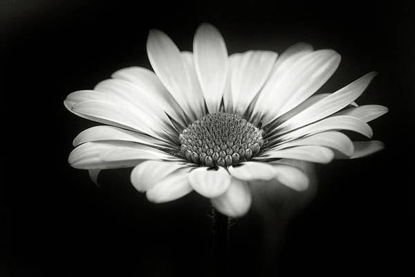 African Daisies Photograph - No Color Spring by Robert Fawcett