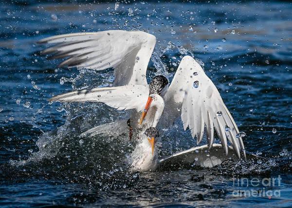 Elegant Tern Wall Art - Photograph - No Fish,  I'll Take A Wing..... by Carl Jackson