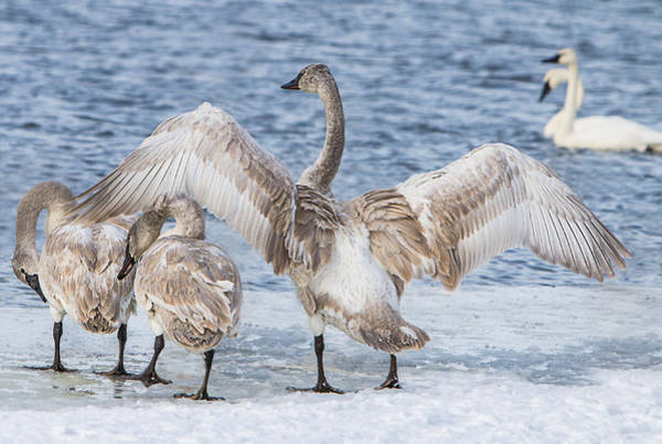 Photograph - Juvenile Swan Wingspread by Patti Deters