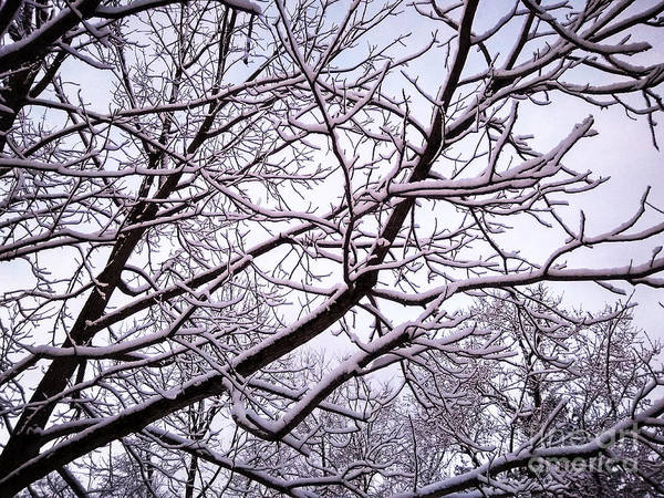 Photograph - No Leaves Just Snow by Robert Knight