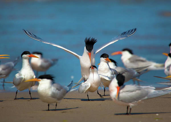 Elegant Tern Wall Art - Photograph - No Privacy by Brian Knott Photography