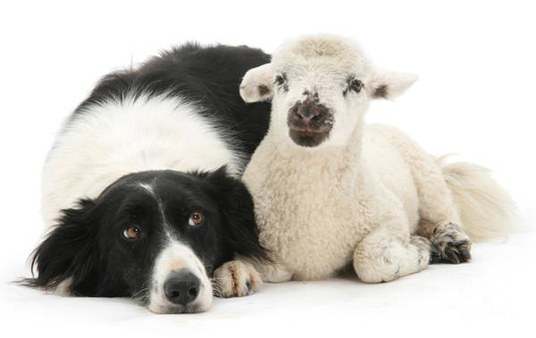 Collie Photograph - No Sheep Jokes, Please by Warren Photographic