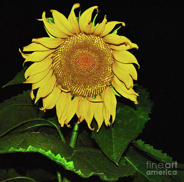 Photograph - Noctural Sunflower Power by George D Gordon III