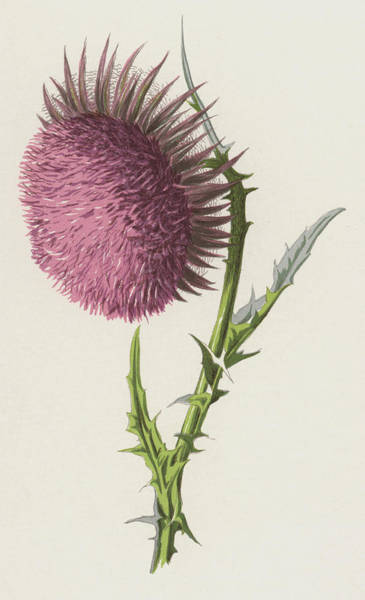 Pretty In Pink Wall Art - Painting - Nodding Thistle by Frederick Edward Hulme