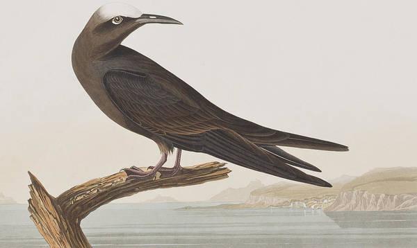 Wall Art - Painting - Noddy Tern by John James Audubon