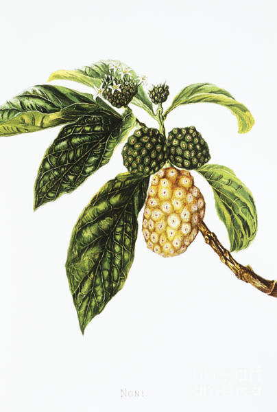 Legacy Wall Art - Painting - Noni Fruit Art by Hawaiian Legacy Archive - Printscapes