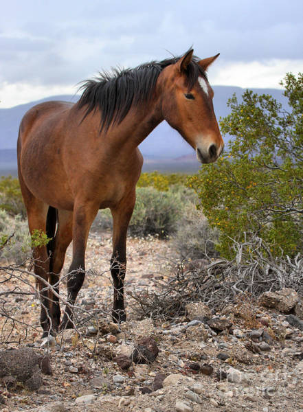 Photograph - Nopah Mountains Wild Horse by Adam Jewell