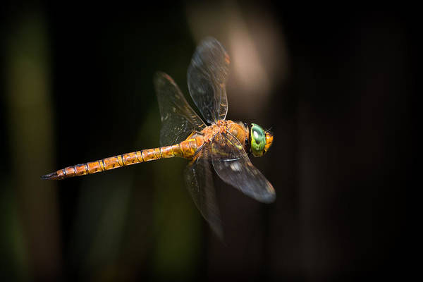 Norfolk Photograph - Norfolk Hawker Dragonfly by Ian Hufton