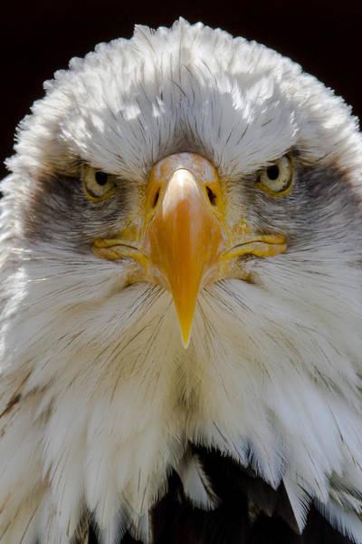 North American Bald Eagle  Art Print