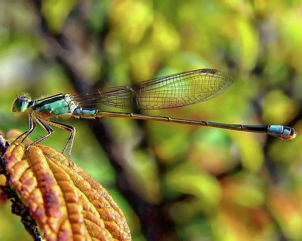Photograph - North American Damselfly by Anthony Dezenzio