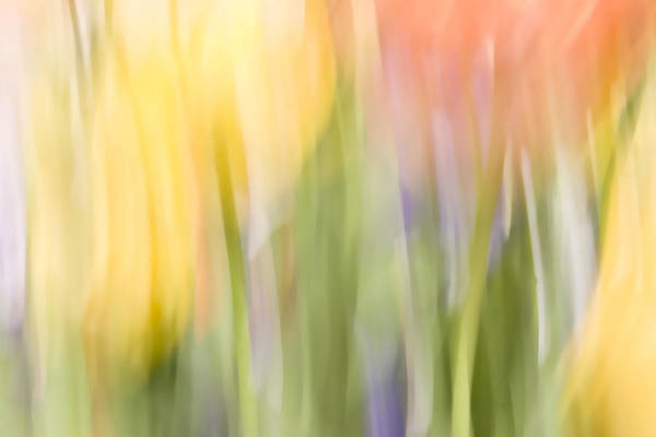 Photograph - North Hills Tulips I by Margaret Denny