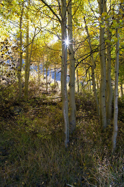 Photograph - North Lake Aspens by Kim Hawkins Eastern Sierra Gallery