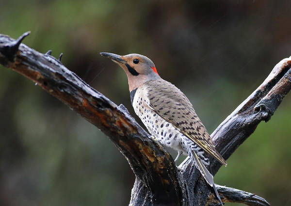 Photograph - Northern Flicker In Rain by Daniel Reed