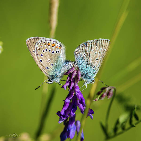 Photograph - Northern Blue's Mating by Torbjorn Swenelius