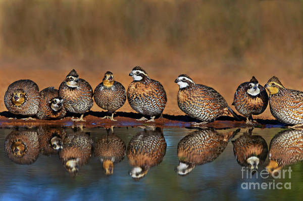 Photograph - Northern Bobwhite Colinas Virginianus Wild Texas by Dave Welling