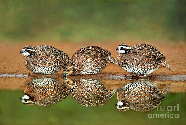 Photograph - Northern Bobwhites Birds Colinus Virginianus Wild Hida by Dave Welling