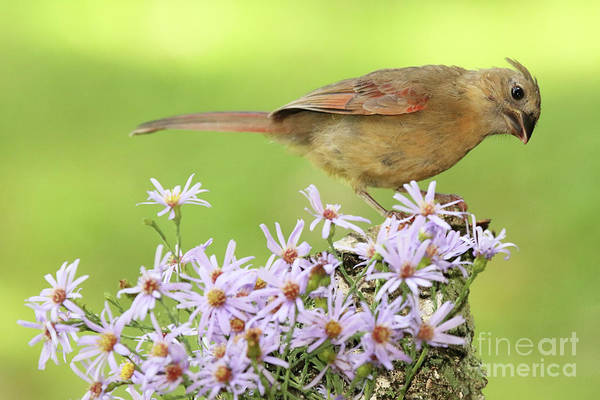 Wall Art - Photograph - Northern Cardinal Among Purple Flowers by Max Allen