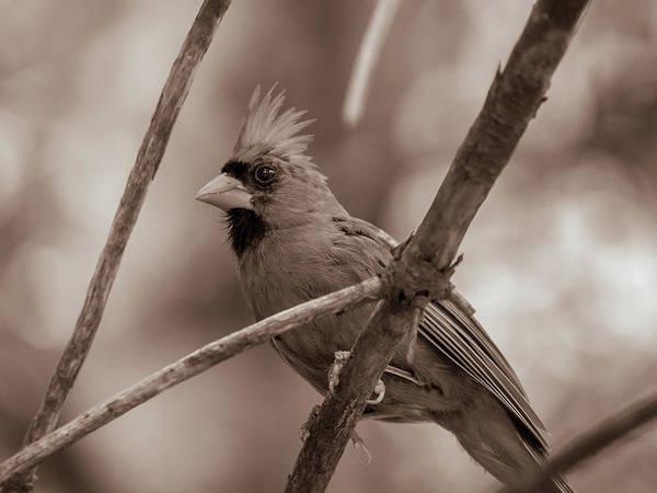 Photograph - Northern Cardinal  by Bob Orsillo