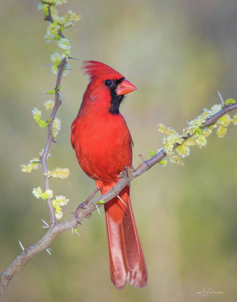 Wall Art - Photograph - Northern Cardinal Cfh175894 by Carol Fox Henrichs