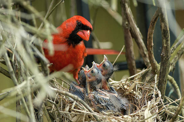 Chick Photograph - Northern Cardinal Day 8 by Everet Regal