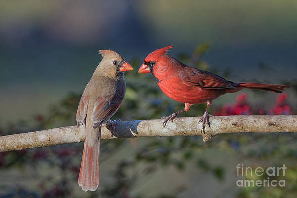 Wall Art - Photograph - Northern Cardinal Encounter by Bonnie Barry