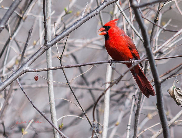 Photograph - Northern Cardinal Feeding by Edward Peterson