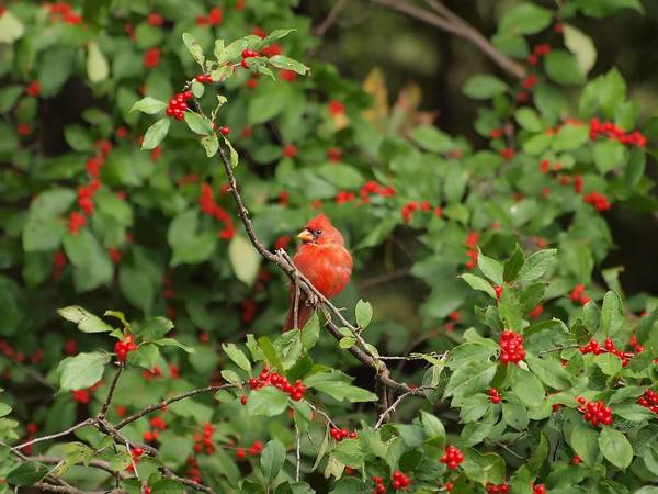Wall Art - Photograph - Northern Cardinal by Frank Piercy