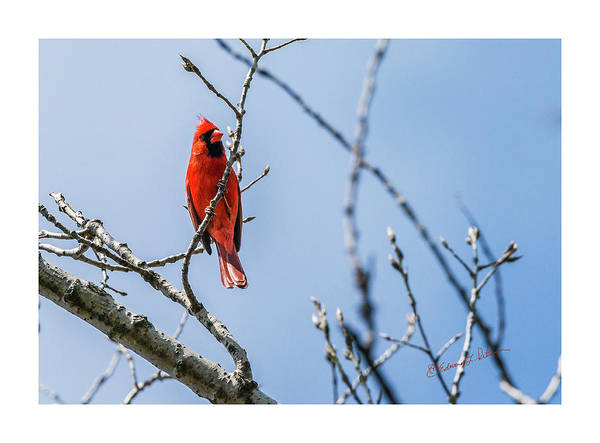 Photograph - Northern Cardinal In Springtime by Edward Peterson