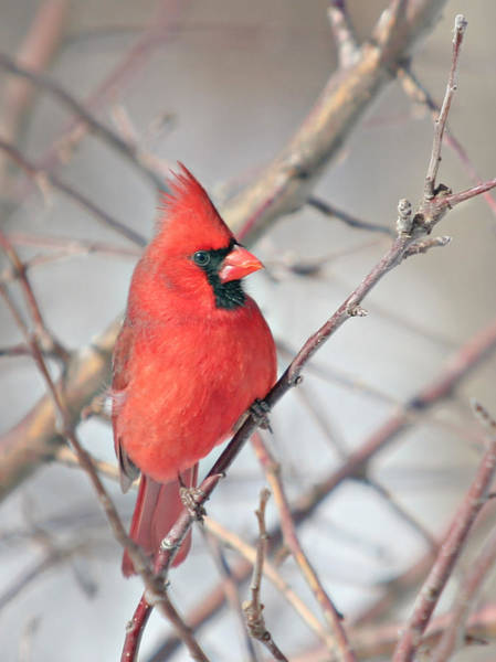 Wall Art - Photograph - Northern Cardinal In The Apple Tree by Laurie With