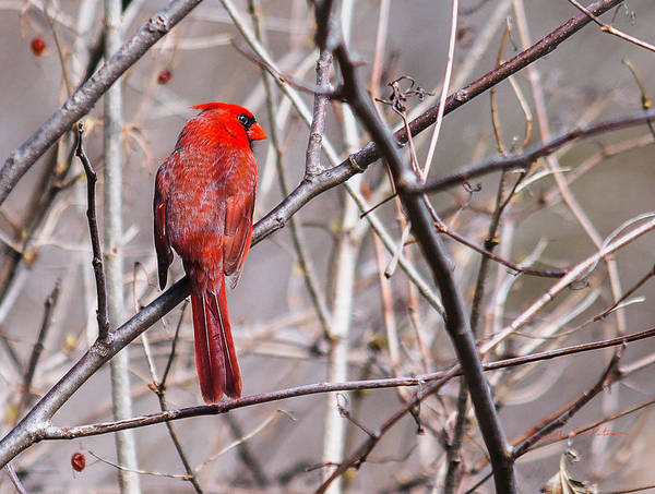 Photograph - Northern Cardinal In The Sun by Edward Peterson