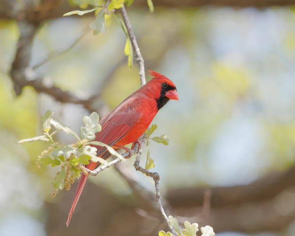 Photograph - Northern Cardinal by John Moyer